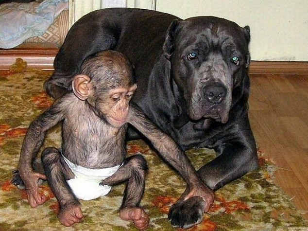 mastiff and chimp
