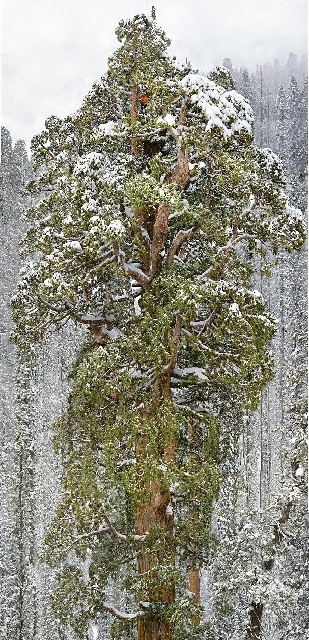 Giant Sequoia The President