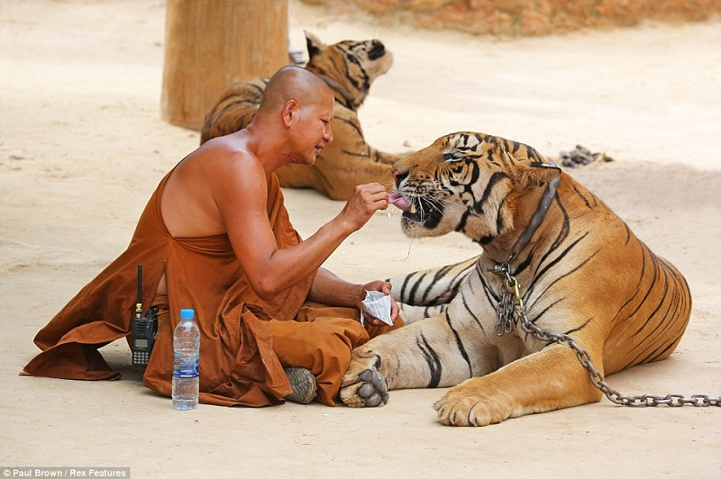 man and tiger