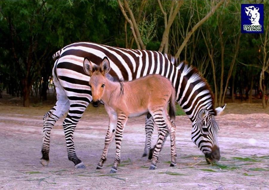 khumba zonkey zebra-donkey