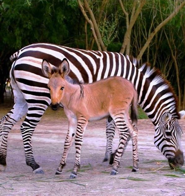 Khumba Zonkey Zebra Donkey