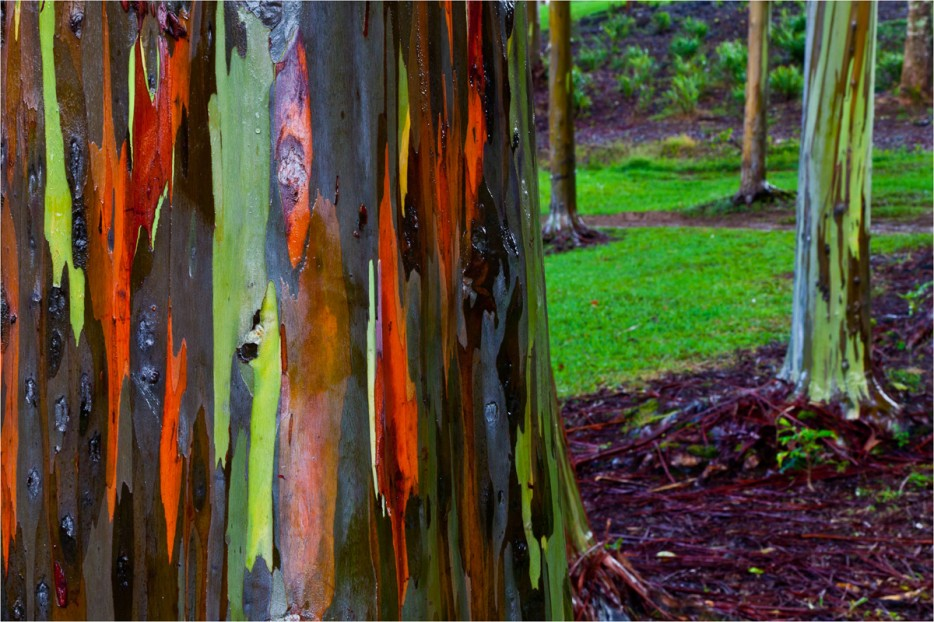 Rainbow Eucalyptus Trees, Australia